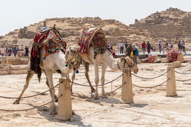 Twee kamelen die op toeristen in Giza wachten stock foto's