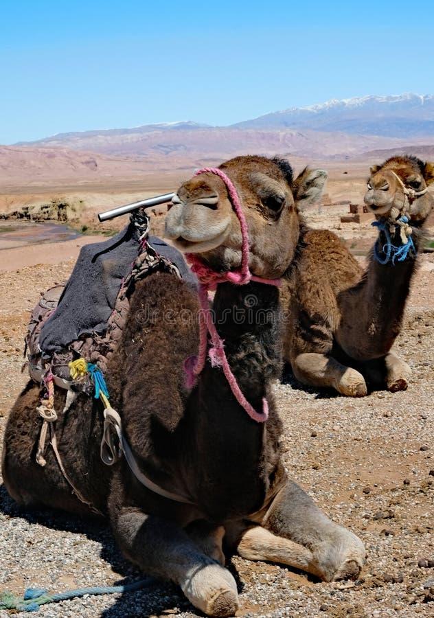 Twee kamelen die in Sahara Desert rusten stock foto