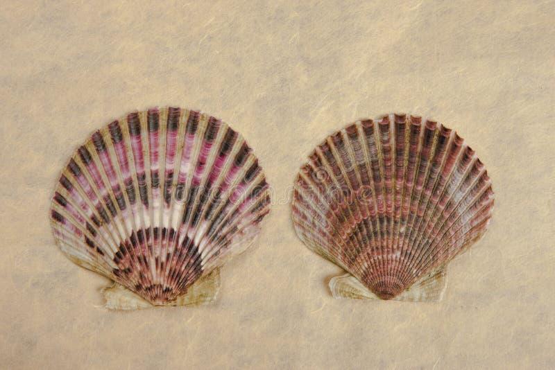 Twee kammosselshells royalty-vrije stock afbeelding