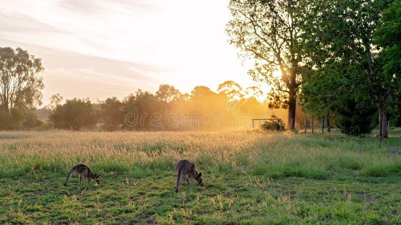 Twee Kangoeroes die Gras eten bij Zonsondergang royalty-vrije stock afbeeldingen