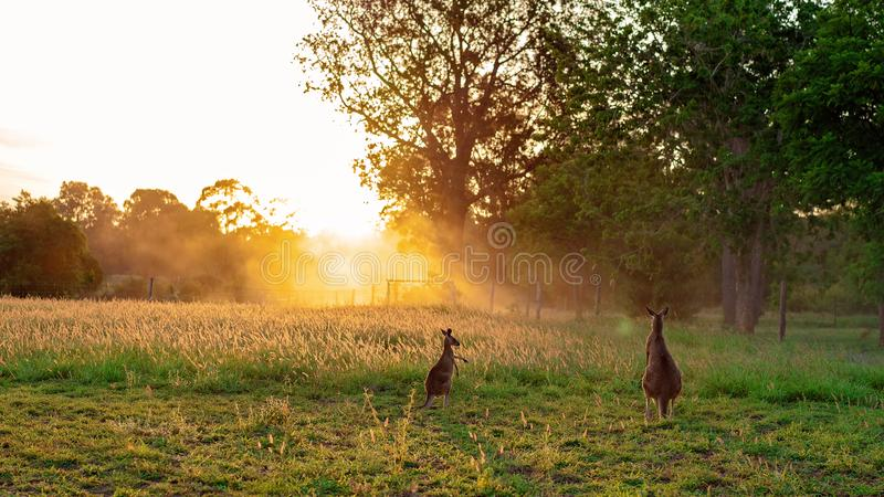 Twee Kangoeroes in een Mooie Zonsondergang royalty-vrije stock fotografie