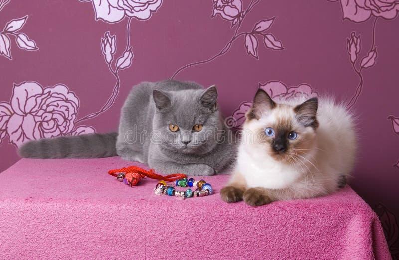 Twee katjes op een roze achtergrond royalty-vrije stock afbeelding