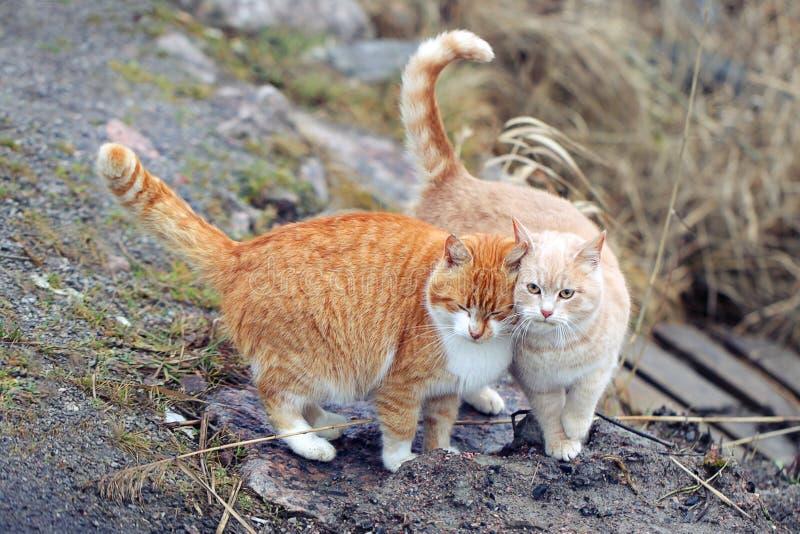 Twee katten in een zeer verhouding Twee binnenlandse katten samen royalty-vrije stock afbeelding
