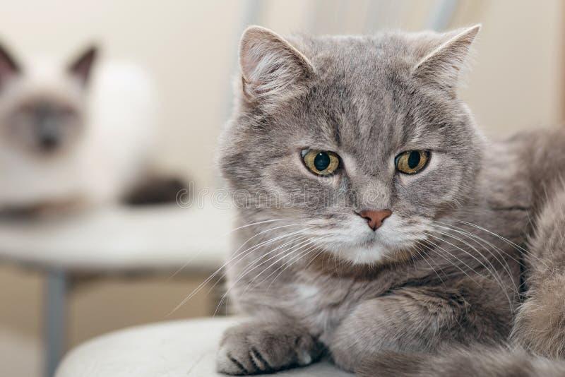 Twee katten, grijs en wit, liggen achter elkaar op de stoelen stock afbeeldingen