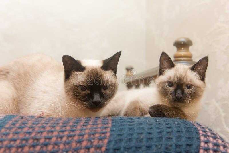 Twee katten Siamese ras stock afbeeldingen