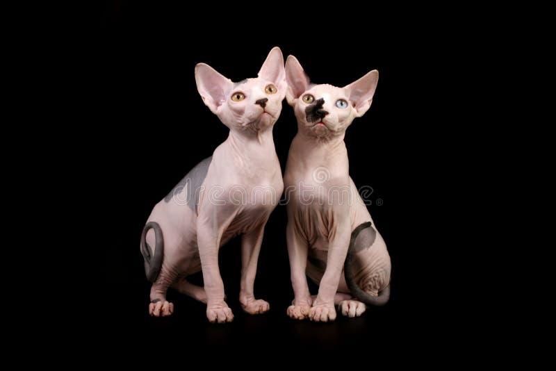 Twee katten Sphynx stock afbeeldingen