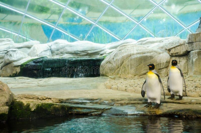 Twee keizerpinguïnen bij een dierentuin, die in het water voorbereidingen treffen te gaan royalty-vrije stock foto's