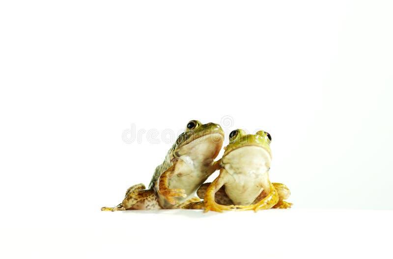 Twee kikkers stock afbeeldingen