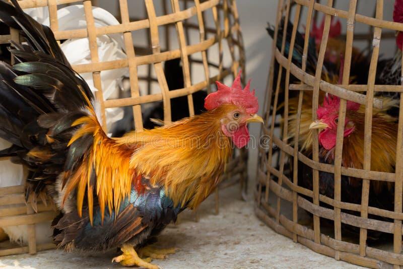 Twee kip uitdaging stock foto