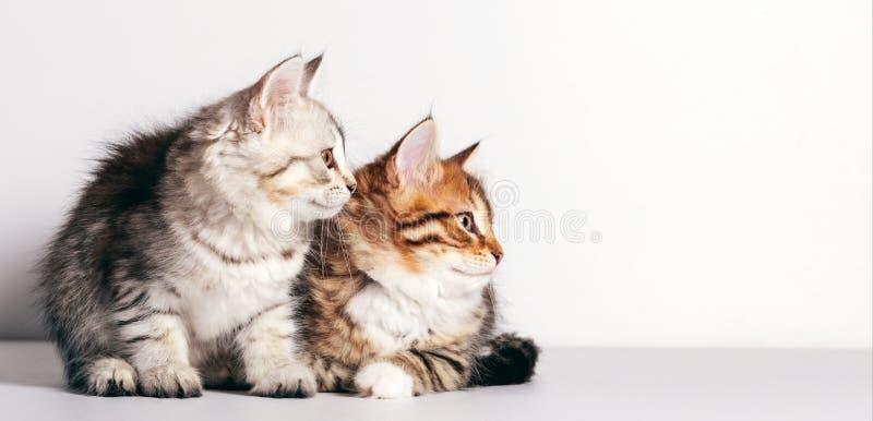 Twee kittens, Syberische katten die naar de zijkant kijken stock foto's