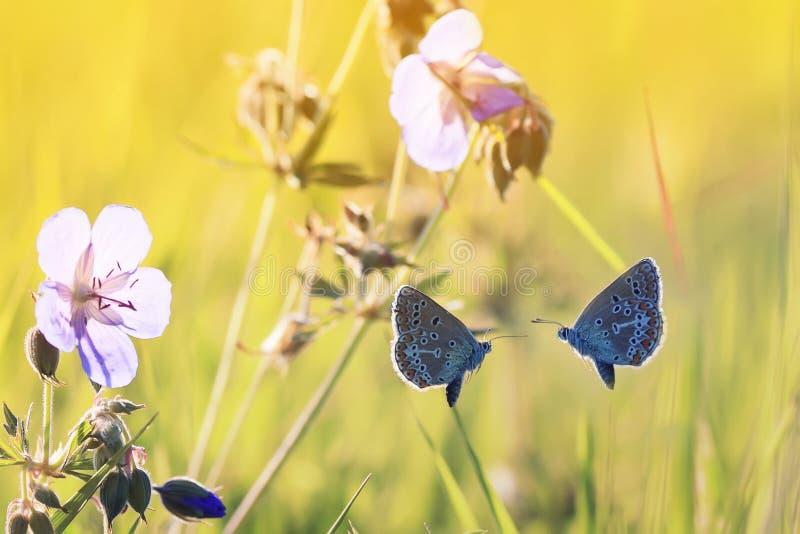 Twee kleine blauwe vlinders vliegen naar elkaar stock fotografie