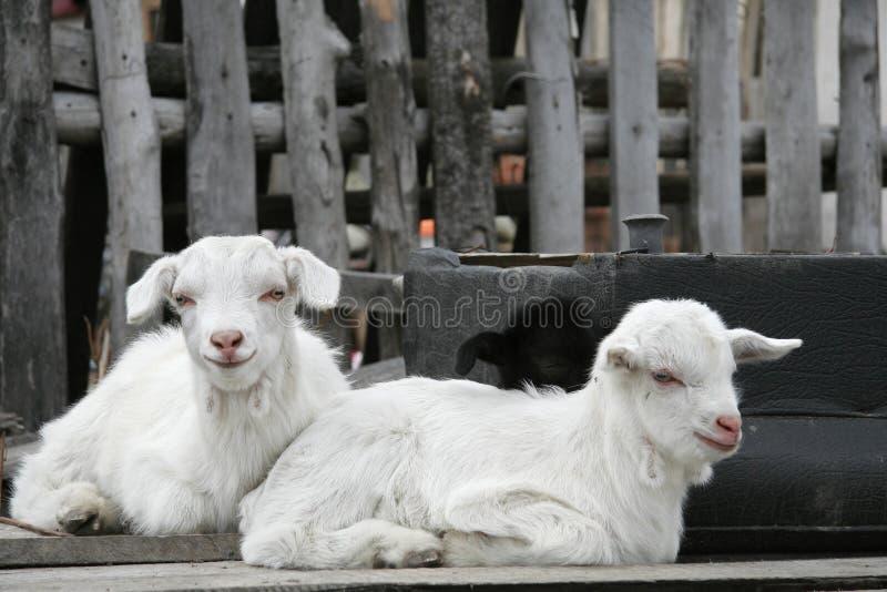 Twee kleine geiten stock afbeelding
