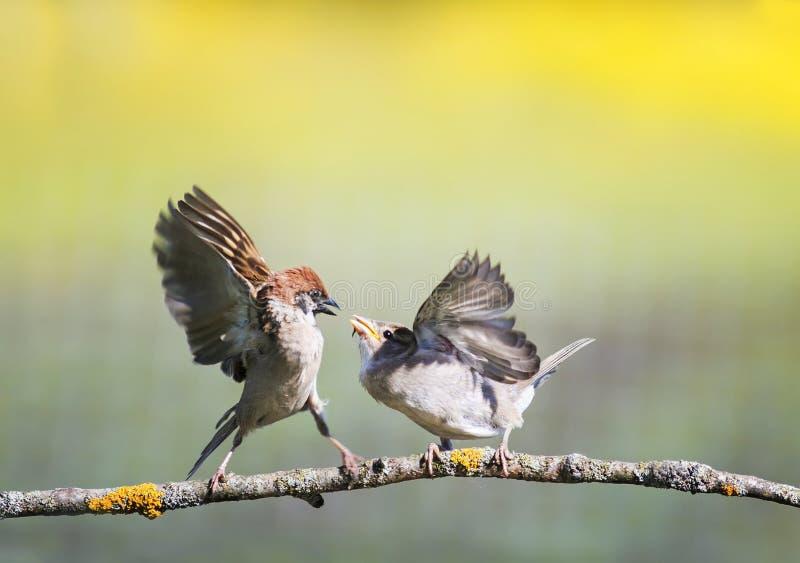 Twee kleine grappige vogelsmussen op een tak in een zonnige de lentetuin die hun vleugels en bekken klappen tijdens een geschil stock afbeelding