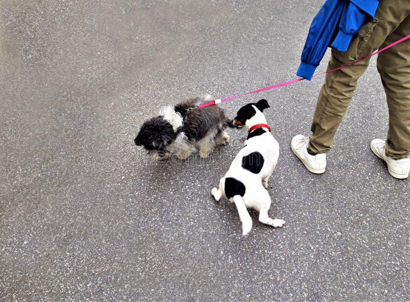 Twee Kleine Honden royalty-vrije stock foto