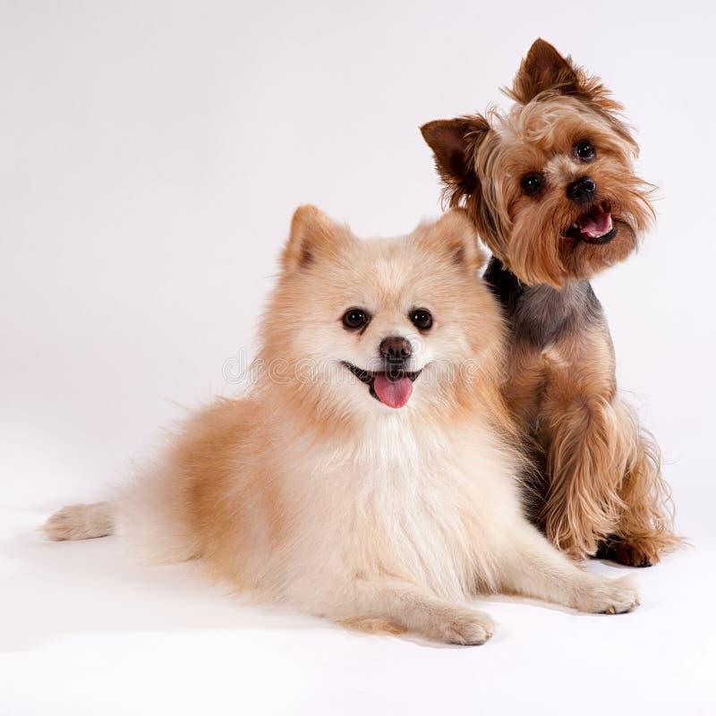 Twee kleine honden op een witte achtergrond. Yorkshire Terrier en Spit stock afbeeldingen