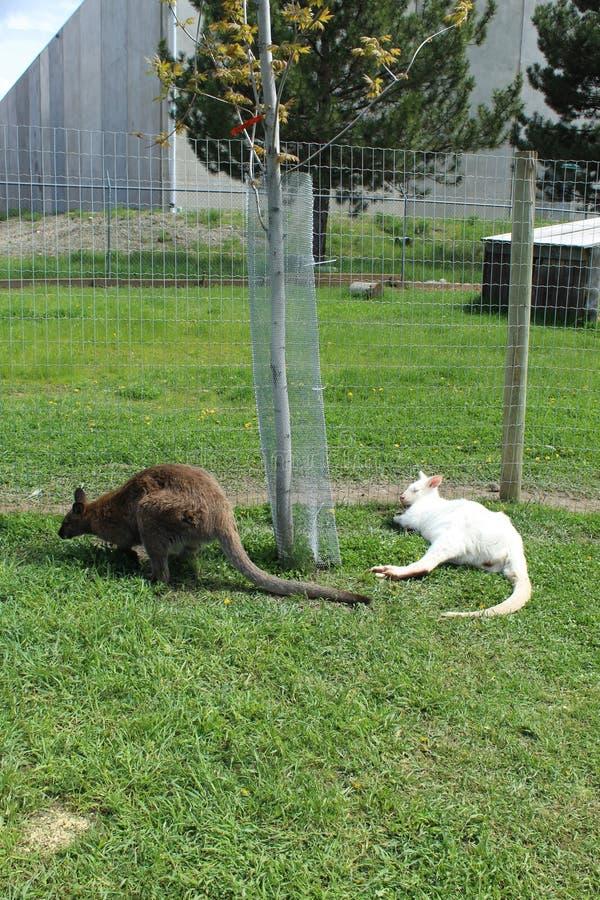 Twee kleine kangoeroes op grasgebied stock fotografie