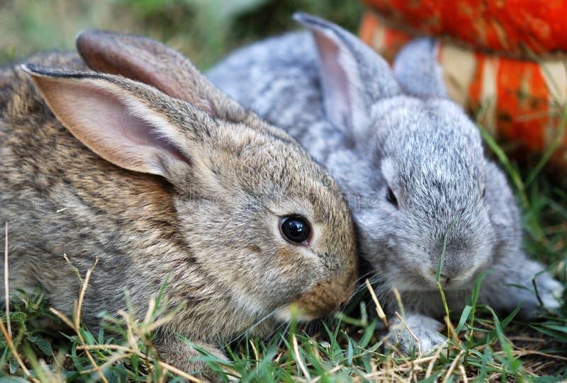 Twee kleine konijnen royalty-vrije stock afbeelding