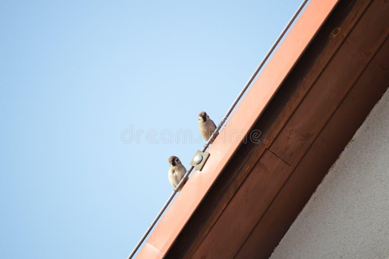 Twee kleine mussen die op het dak zitten stock fotografie