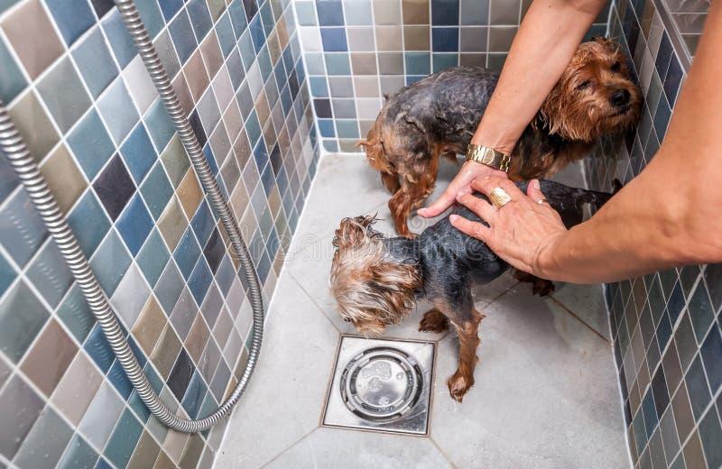 Twee kleine natte leuke en mooie rasechte honden van Yorkshire Terrier in de badkuip die en selectieve nadruk baden wassen stock foto's