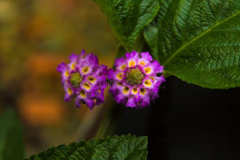 Twee kleine purpere bloemen royalty-vrije stock foto's