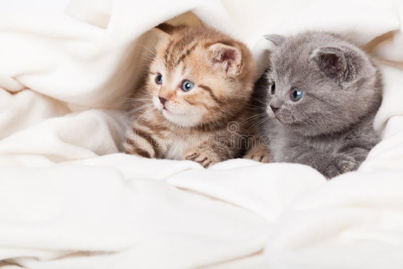 Twee kleine Schotse vouwenkatjes stock foto's