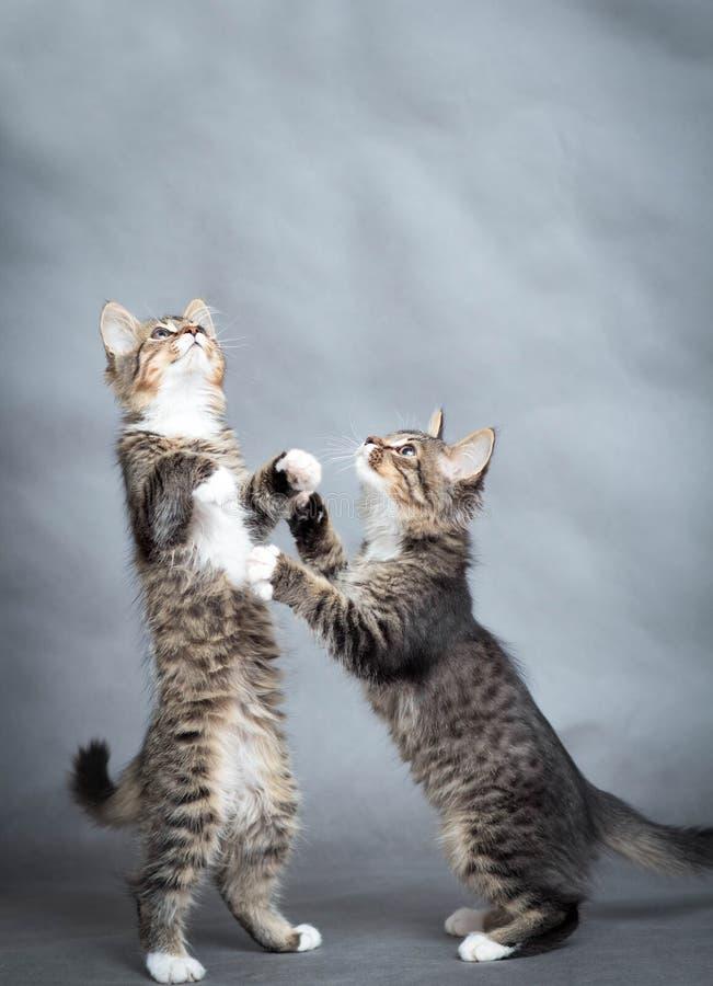 Twee kleine speelse katjes stock foto