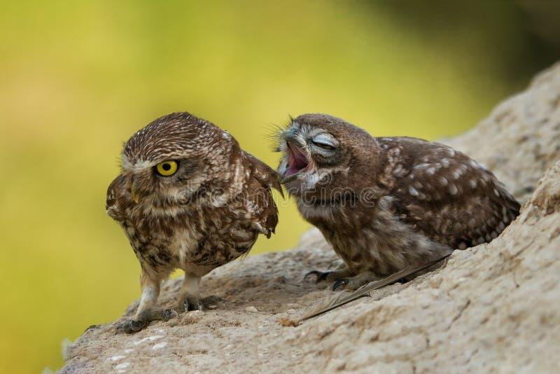 Twee kleine uilen die op een helling zitten royalty-vrije stock afbeeldingen