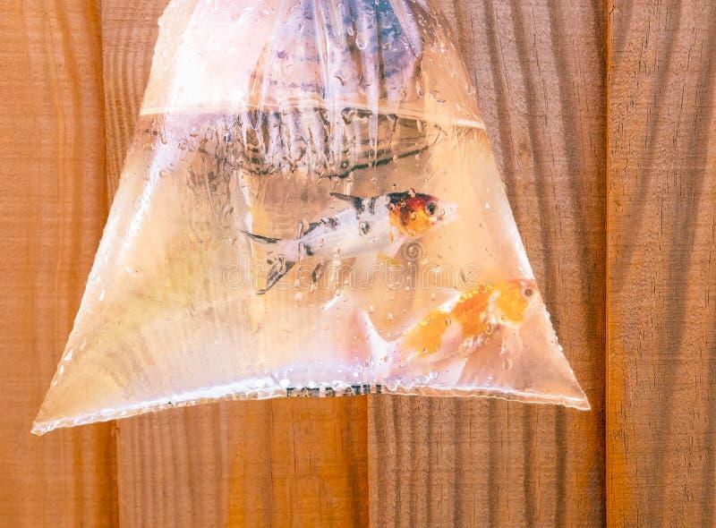 Twee kleine vissen van de koikarper in een zak stock afbeelding