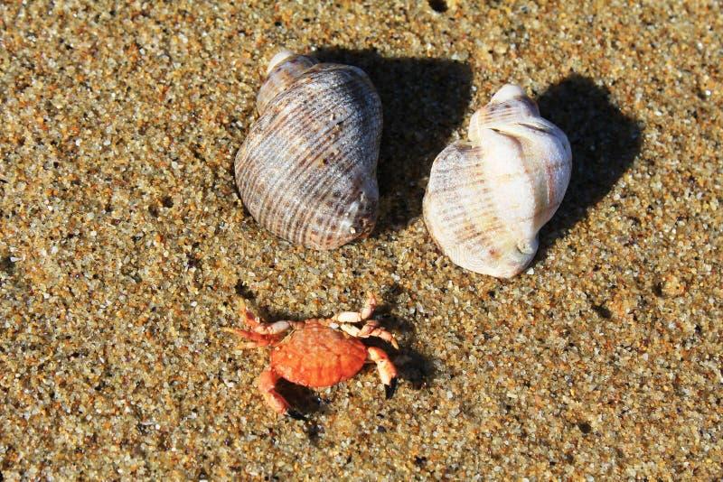 Twee kleine zeeschelpen en krab op het zandige strand op de kust van de Zwarte Zee in Obzor, Bulgarije royalty-vrije stock afbeelding