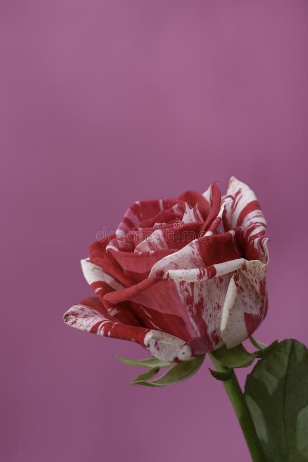Twee kleurenrozen, wit en roze stock afbeeldingen