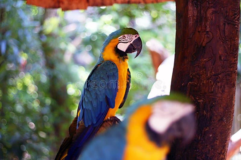 Twee kleurrijke ara's stock afbeelding