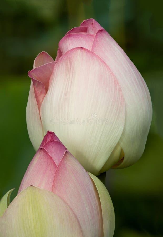 Twee knoppen van de lotusbloembloem stock foto's