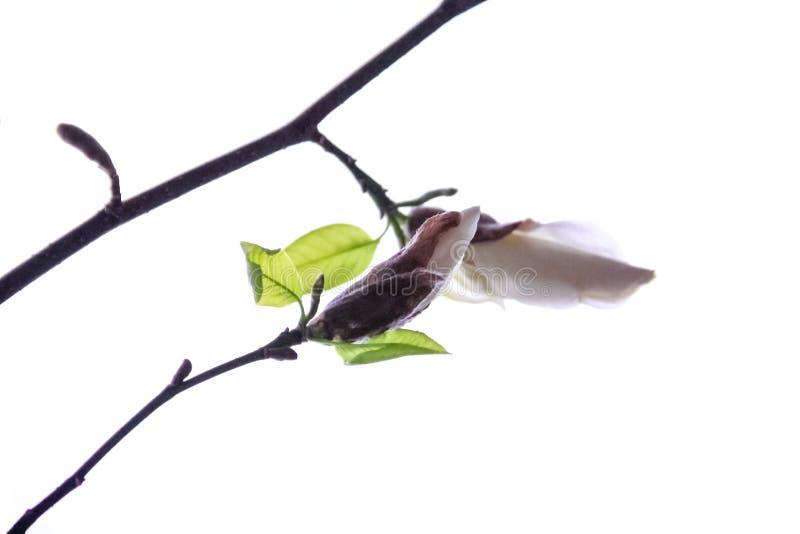 Twee knoppen van witte magnolia royalty-vrije stock foto's