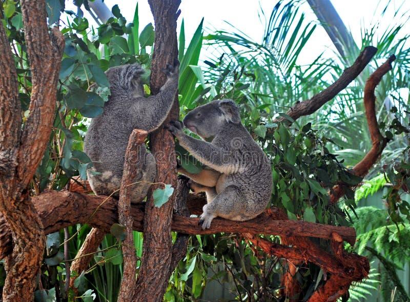 Twee Koala's die een boomboomstam in de dierentuin van Sydney houden royalty-vrije stock afbeeldingen