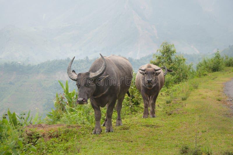 Twee Koeien royalty-vrije stock foto