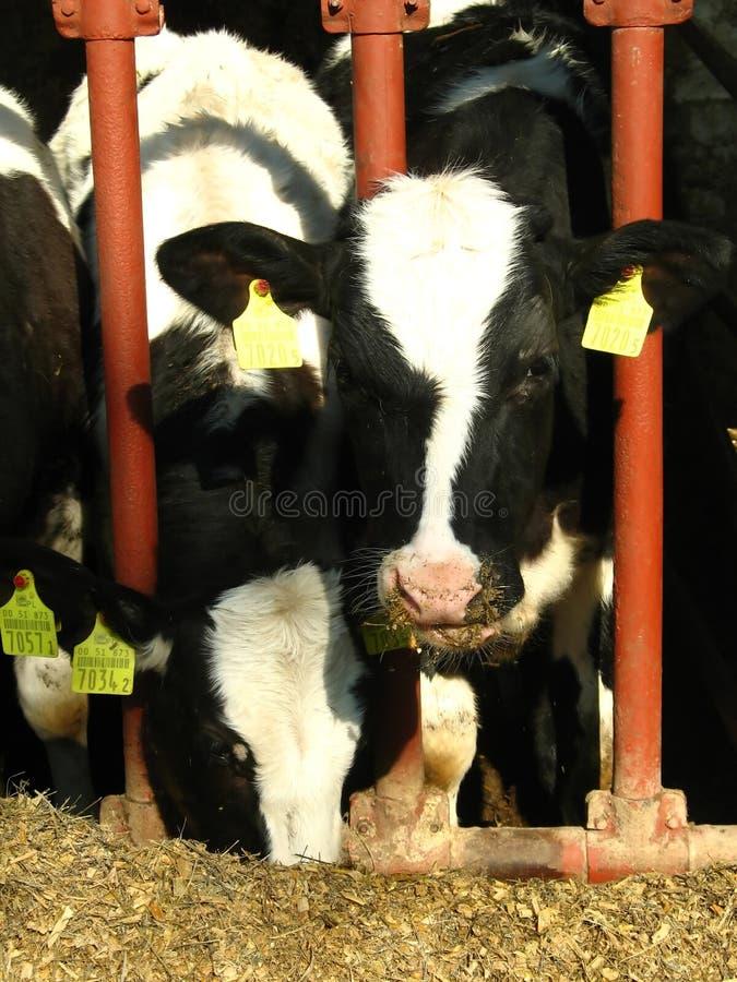 Twee koeien die veevoeder eten stock foto's