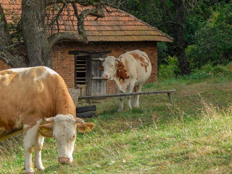 Twee koeien die in weide onder de oude perzikboom eten stock afbeeldingen