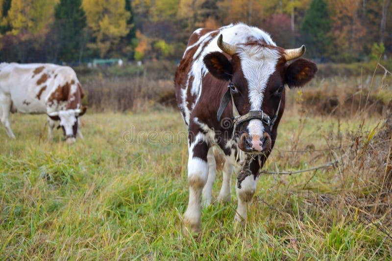Twee koeien weiden op weiland Autumn Landscape Rusland royalty-vrije stock foto's