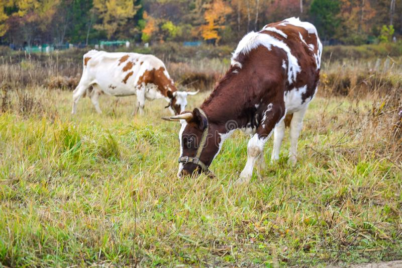 Twee koeien weiden op weiland Autumn Landscape Rusland royalty-vrije stock foto