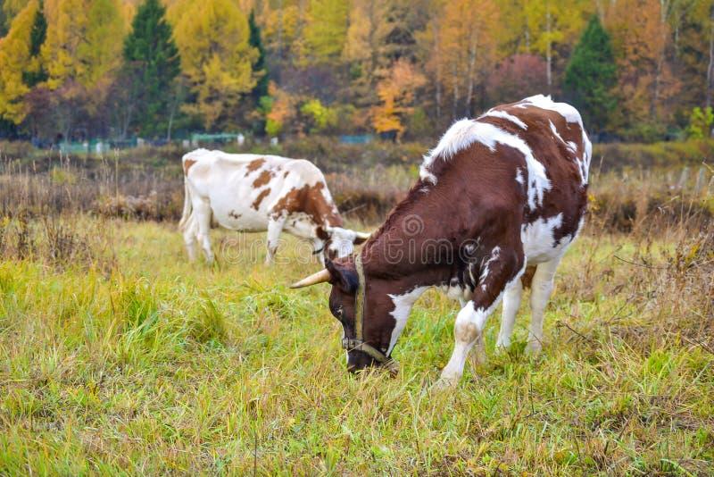Twee koeien weiden op weiland Autumn Landscape Rusland royalty-vrije stock afbeelding