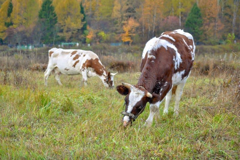Twee koeien weiden op weiland Autumn Landscape Rusland stock foto