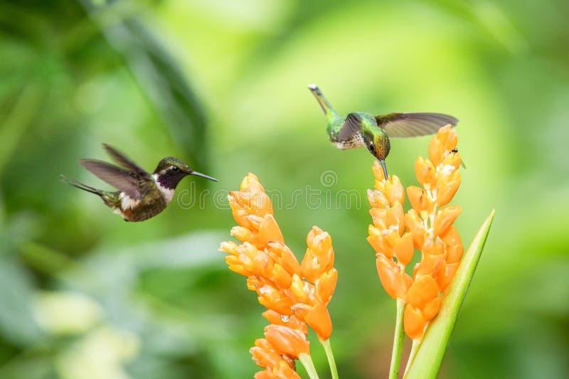 Twee kolibries die naast oranje bloem, tropisch bos die, Ecuador, twee vogels hangen nectar van bloesem zuigen royalty-vrije stock foto