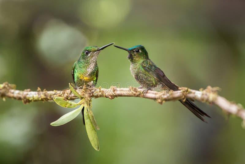 Twee kolibries die op tak zitten daarna en werken, kolibries van tropisch regenwoud, Peru, vogel het neerstrijken op elkaar in stock fotografie