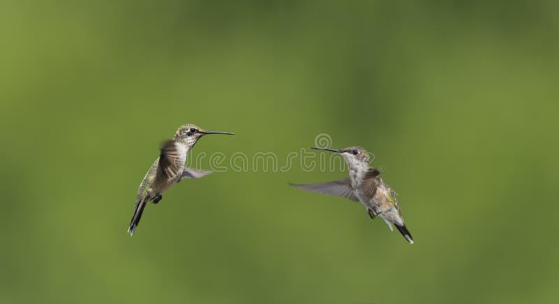 Twee Kolibries die weg aan langsligger onder ogen zien royalty-vrije stock afbeeldingen
