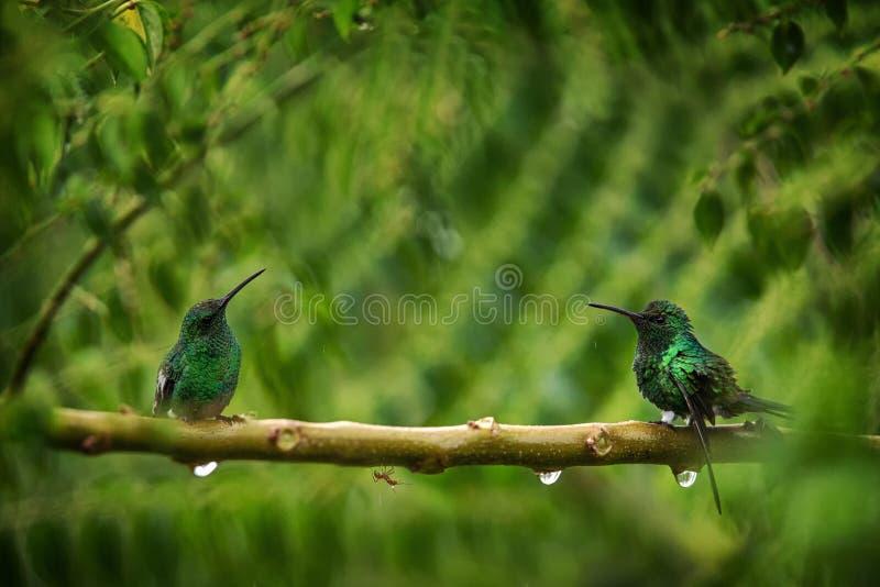 Twee kolibries het Gloeien Puffleg zitting op tak in regen in tropisch bos, Colombia die, vogel, het uiterst kleine mooie vogel r stock afbeeldingen