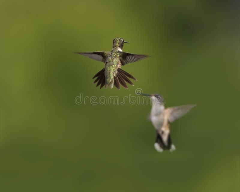 Twee Kolibries Klaar te mompelen stock afbeelding