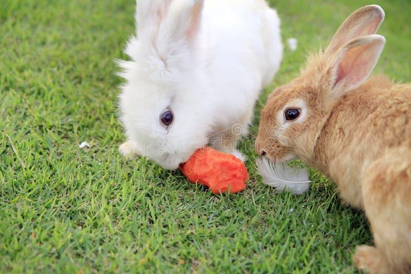 Twee konijnen die wortel eten royalty-vrije stock afbeelding