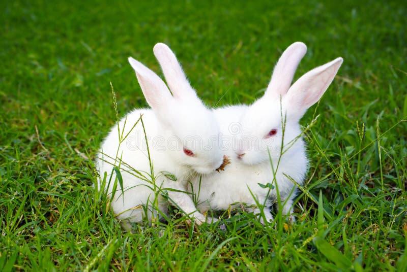 Twee konijnen op het gras stock foto's