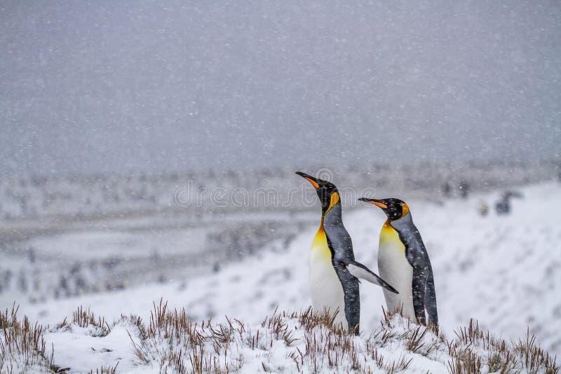 Twee koning Penguins op het Antarctische Schiereiland stock foto's