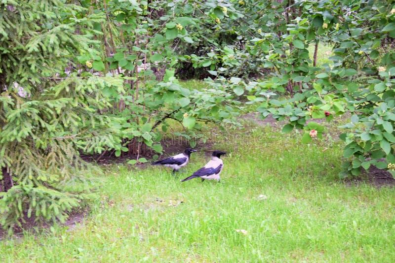 Twee kraaien lopen in het park in de zomer royalty-vrije stock fotografie